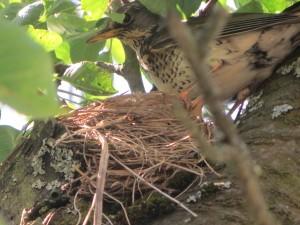 Lijster op nest